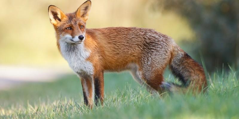 Auch Füchse kommen als Überträger des Virus infrage