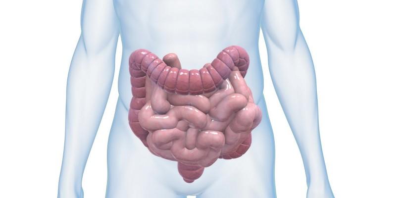 Der menschliche Darm