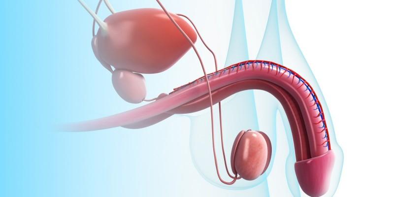 Penis mit Hoden und Samensträngen