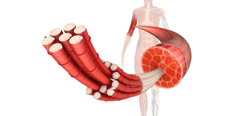Muskel und Muskelfasern