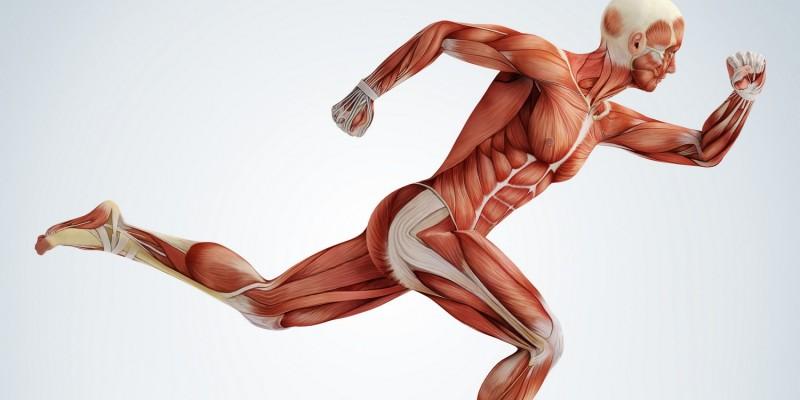 Die Beine bestehen aus vielen Muskeln und Sehnen
